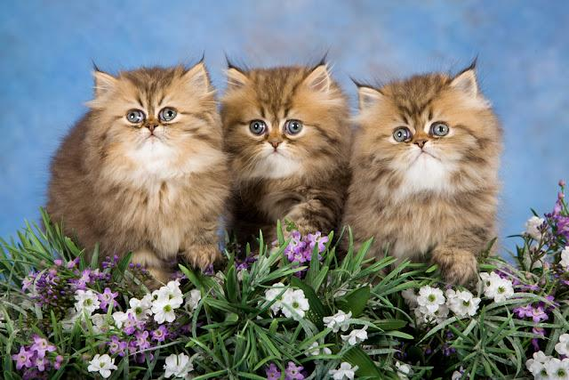 3 Golden Chinchilla Persian kittens with lavender flowers on blue background