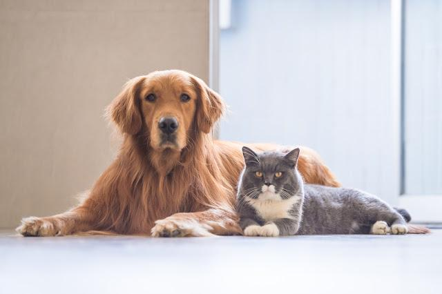 Golden Retriever and British Shorthair