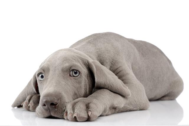 Studio shot of a cute Weimaraner puppy lying on white background.