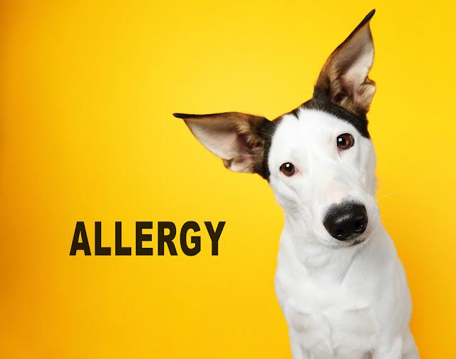 Animal allergy concept. Dog on yellow background