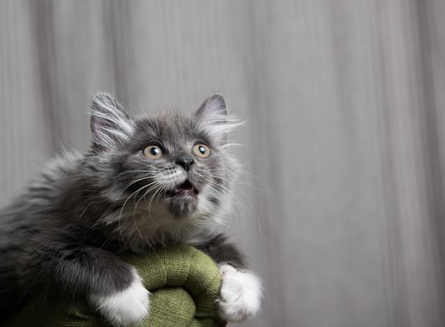 Tiny Fluffy Gray and White Kitten Sitting on Green Chair and Looking at Camera