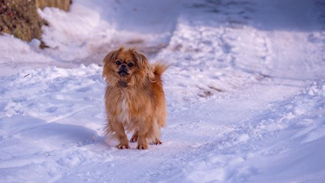 Dog Tibetan Spaniel on snowy road