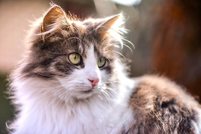 Lovely, gray and white fluffy kitten stare on birds with wide open eyes on a sunny summer day. Cat resting in the sun and wondering. Portrait of domestic young, curious Maine Coon sitting outside