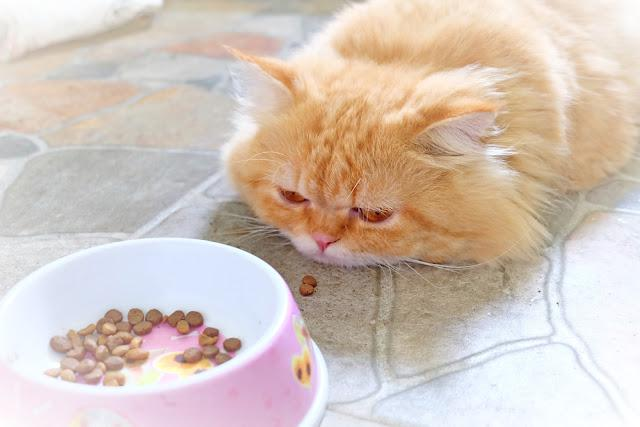 Persian cat boring food on concrete floor