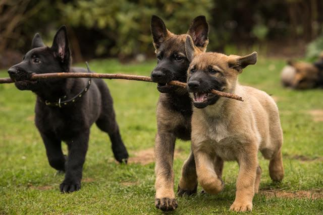 Three working line German shepherd puppies brings one stick