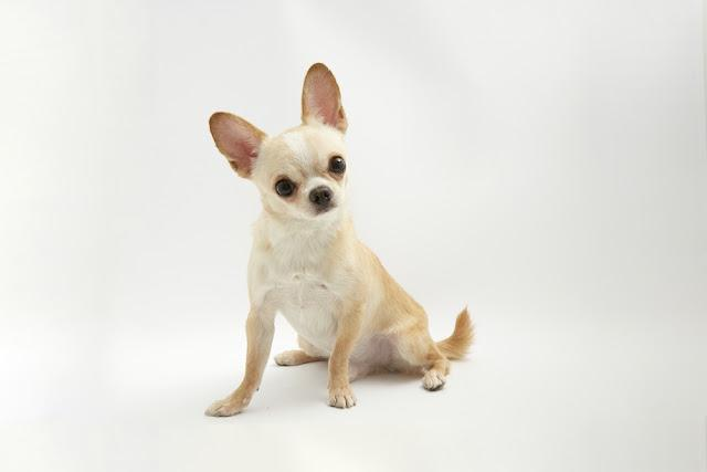 black and tan cream long coated Chihuahua isolated over white background