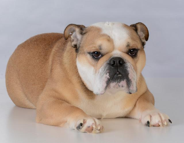 fawn colored female bulldog portrait on grey background