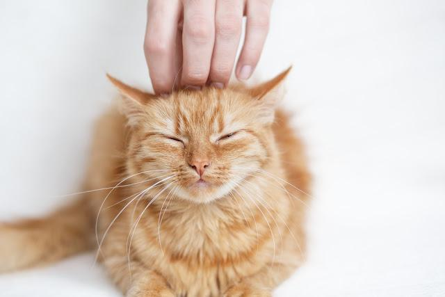 Human hand stroking the red-headed  cat