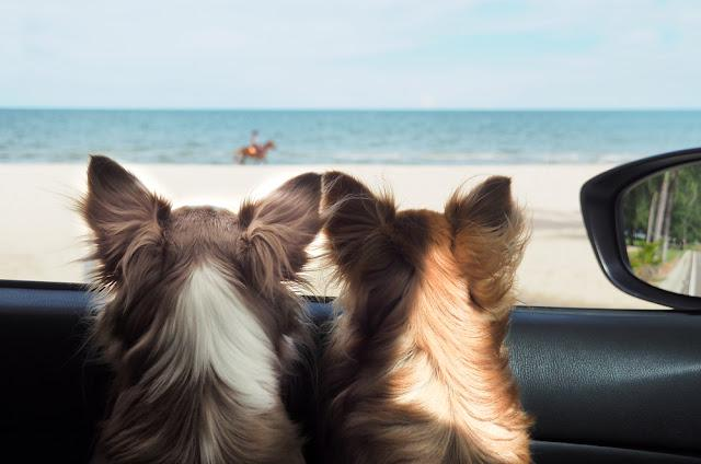 two happy chi hua hua dog in a car looking to the sea or the beach from the cars window on vacation or holiday. Happy dog in car. Dog on vacation or holiday. Dogs and the sea.