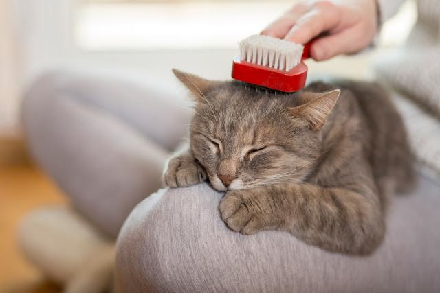 Tabby cat lying in her owners lap and enjoying while being brushed and combed. Selective focus