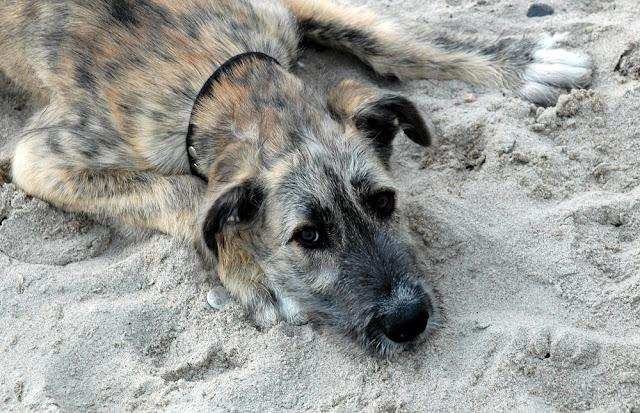 Facial photo of a young irish wolfhound laying in sand.