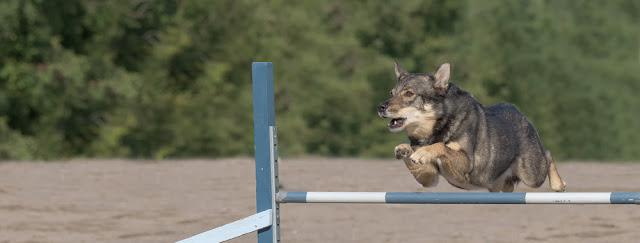 Lapponian Herder jumps over an agility hurdle. Sized to fit for cover image on popular social media site