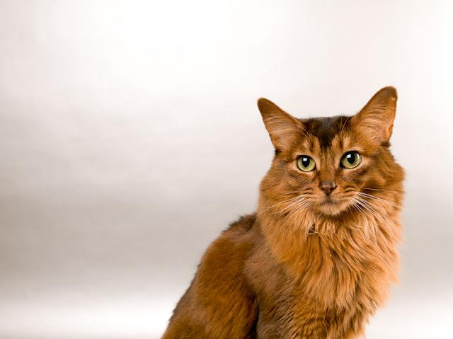 Cute somali cat studio snapshot asking with paw and looking at camera