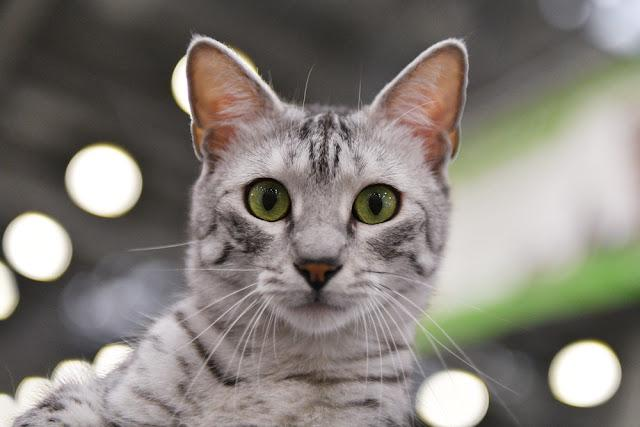 A egyptian mau cat