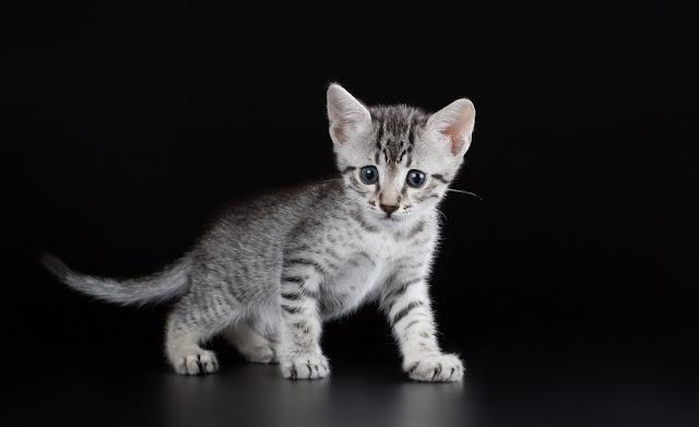 Cute kitten Egyptian Mau on a black background isolated
