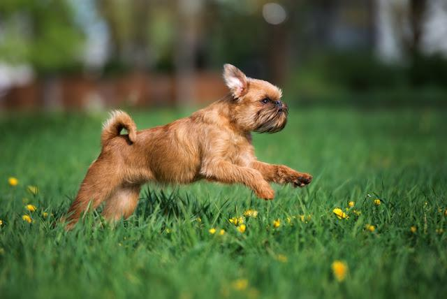 brussels griffon dog running outdoors in summer