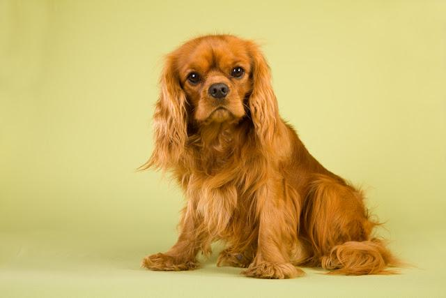 Red ruby CKC spaniel on green background