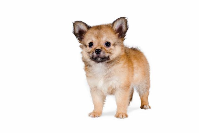 Beautiful Pomeranian mix Chihuahua puppy isolated on white background.