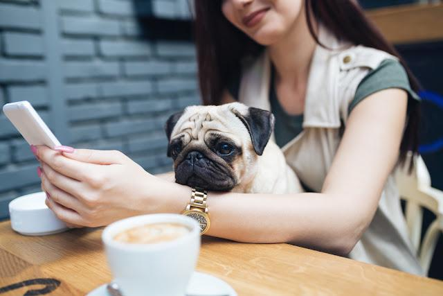 Adorable pug dog sitting in his owners lap in cafe bar. Selective focus on dog.