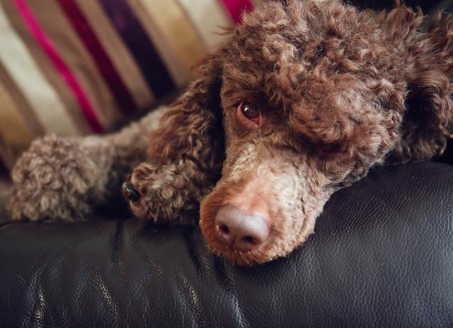 A chocolate miniature poodle sleeping on a sofa.