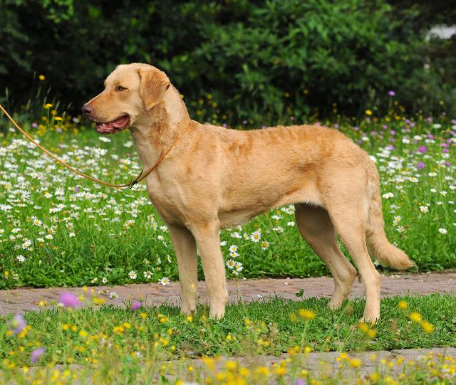 Portrait of typical Chesapeake Bay Retriever dog in outdoors.