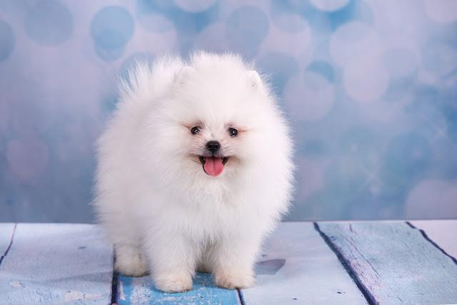 Cute White fluffy puppy pomeranian spitz on light blue background