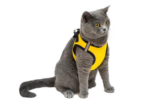 little cute yellow eyes british cat with harness isolated on white background