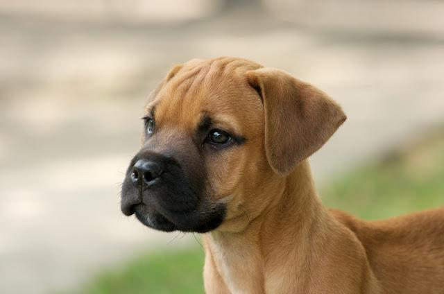 Young bull-mastiff puppy portrait