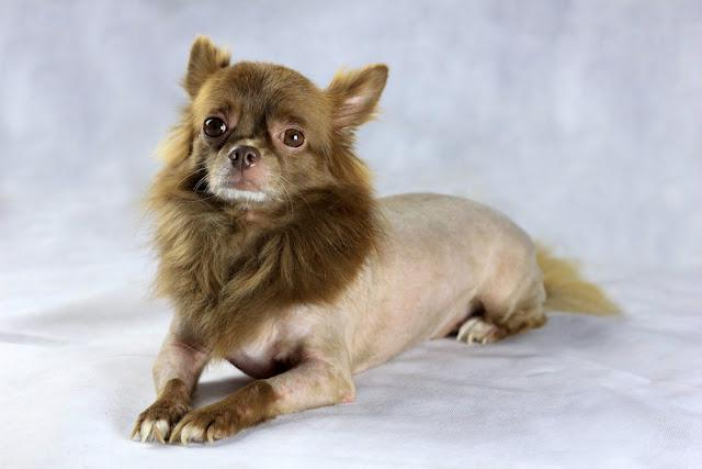 a brown chihuahua with a lion shape hair