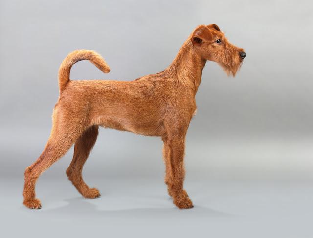 Irish terrier with a gray background. Not isolated.