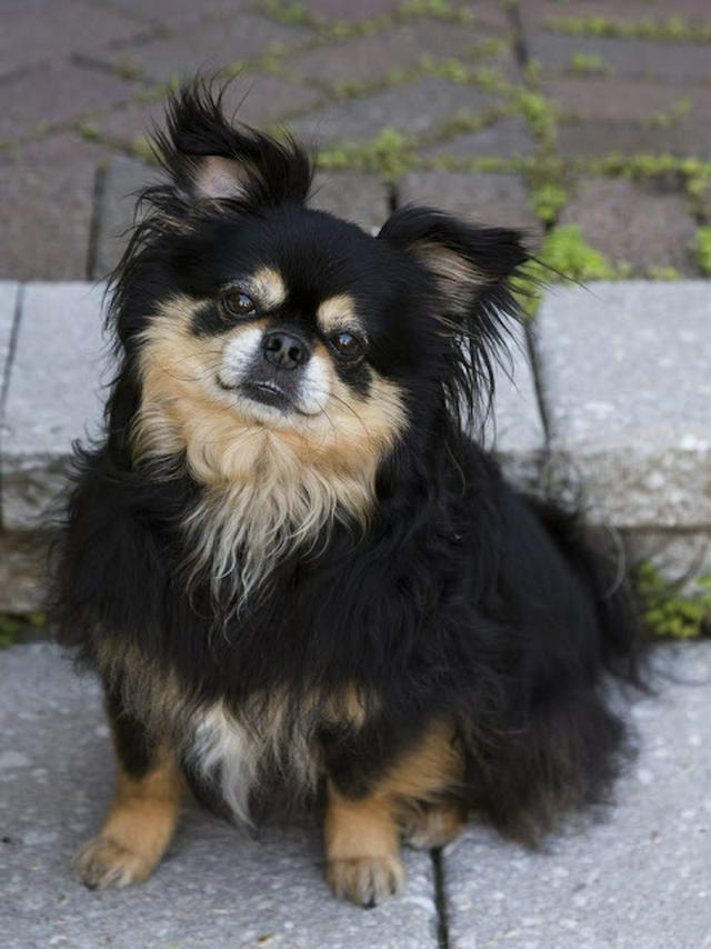 Cute rare tan and black Tibetan Spaniel sitting on front step