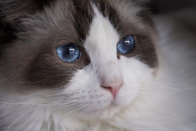 Ragdoll cat close-up