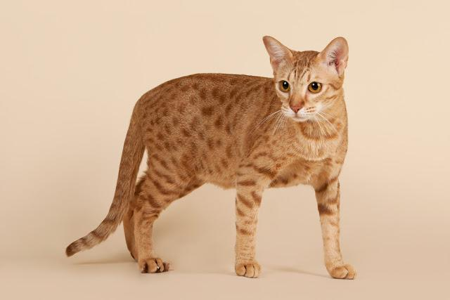 ocicat male cat on light beige background