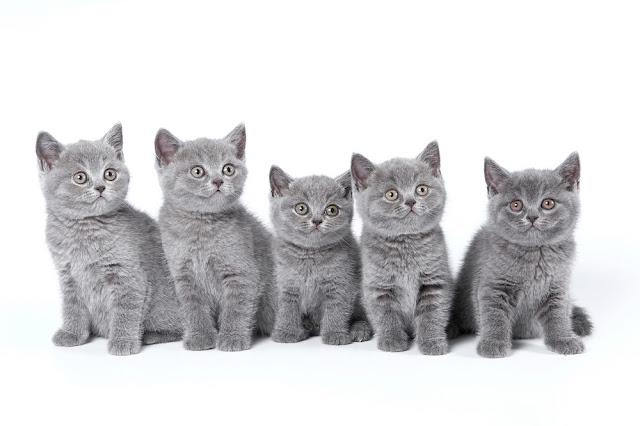 British Shorthair kittens sitting on a white background in a studio.