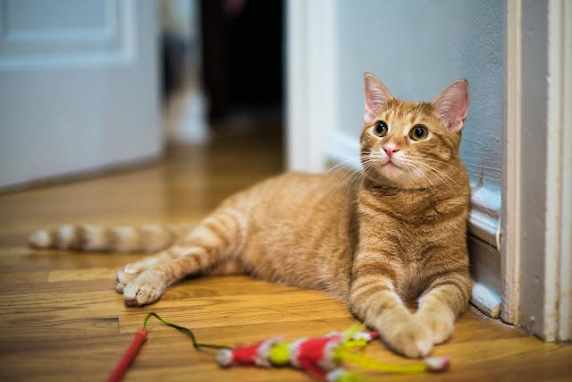 Cute, orange tabby cat looks alert and wants to play, in an older, urban, city apartment with wood floors. His toy lies unused beside him.