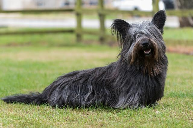 Black Skye Terrier sitting on grass