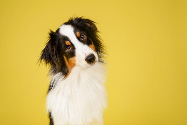 Australian Shepherd Dog in Studio on Yellow Background