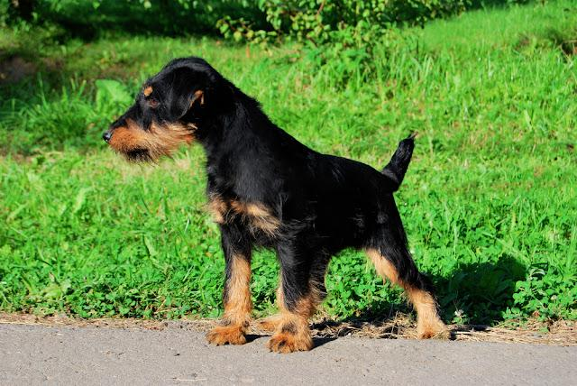 German hunting terrier black and tan, standing on the grass