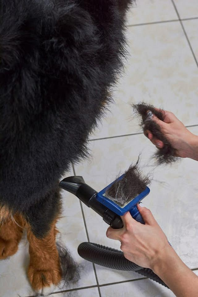 Dog, hands with slicker brush. Hair of bernese mountain dog.
