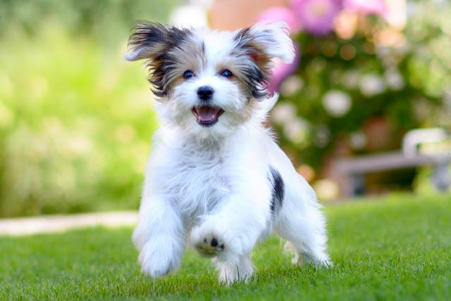 An adorable, happy puppy caught in motion while running on vibrant green grass in summer.