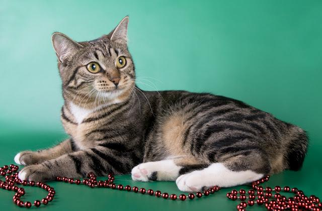 American bobtail on green background