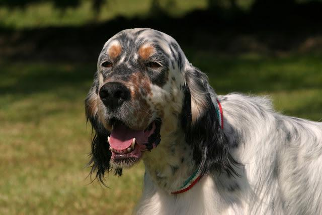 Portrait of an English Setter dog in outdoors.