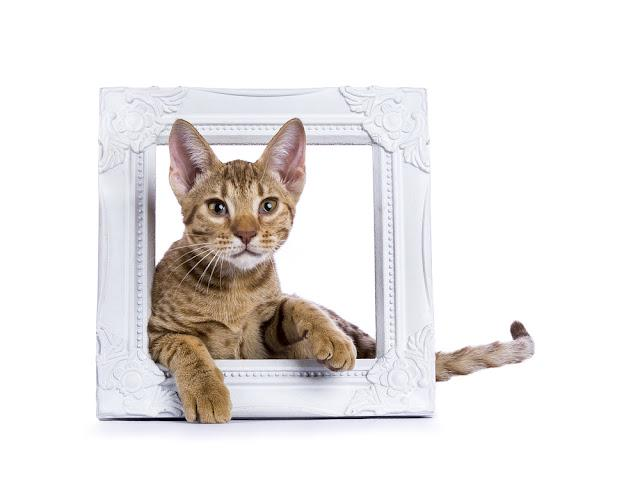 Ocicat kitten laying in white wooden photo frame isolated on white background