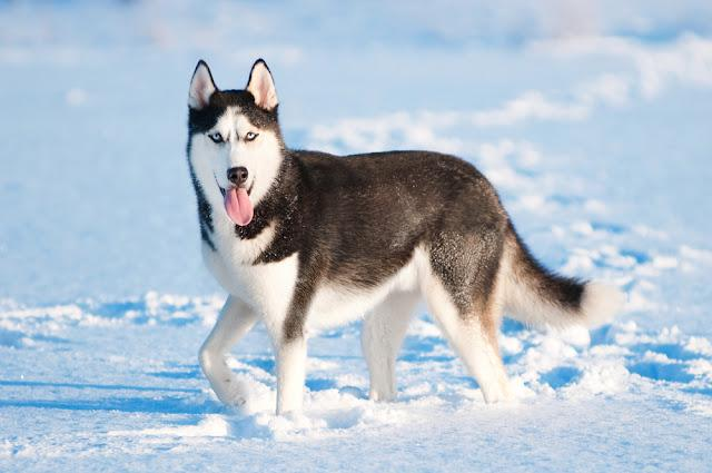 Portrait of siberian husky on snow