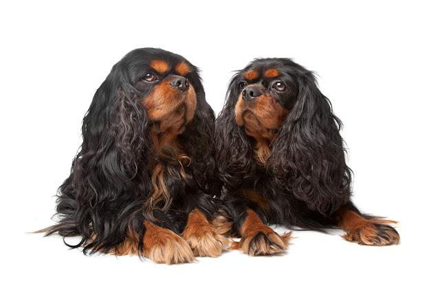 King Charles Spaniel also known as the English Toy Spaniel