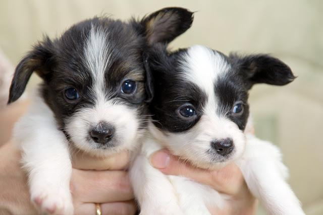 Little Puppies Papillon in the hands of woman