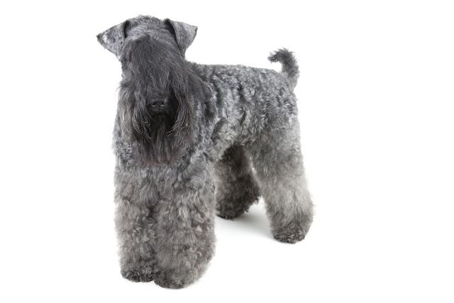 Kerry Blue terrier on white background