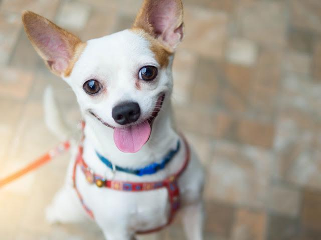 A cute white chihuahua happy smiling dog