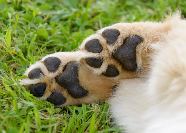 Dogs paws showing pads, Golden Retriever puppy