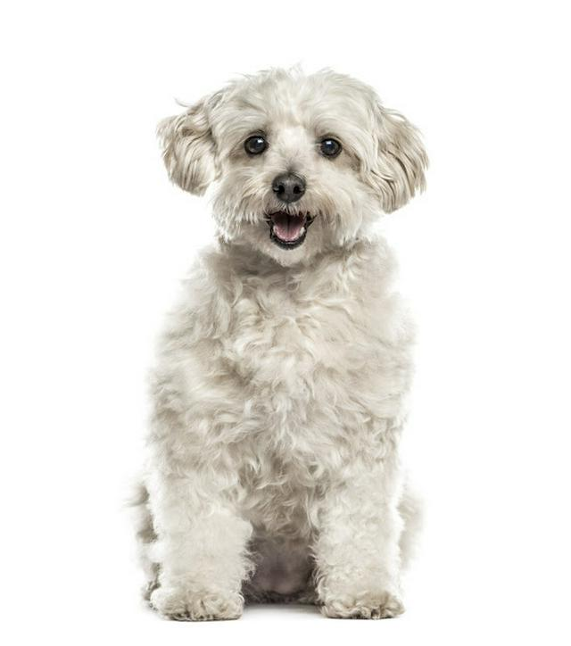 White havanese sitting, isolated on white